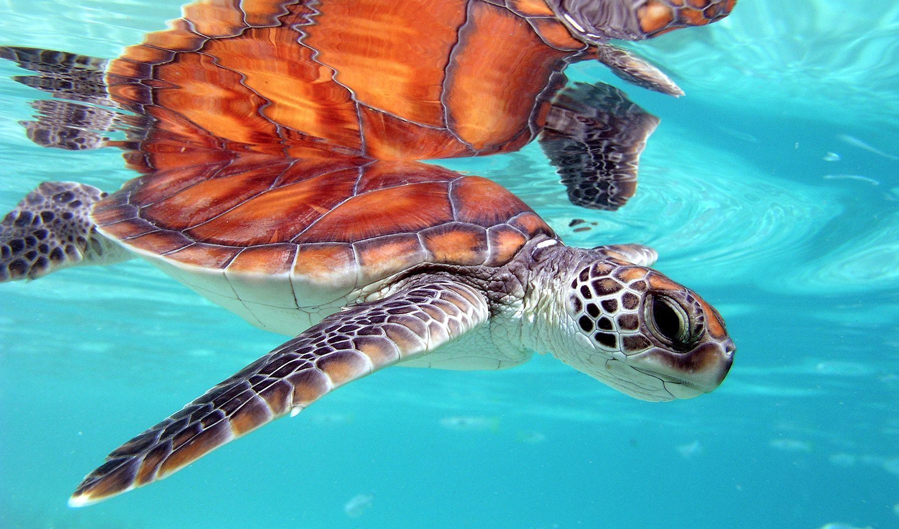 A sea turtle in the ocean near The Brando resort